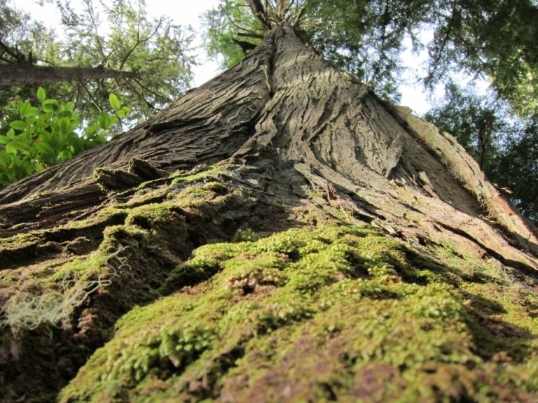 Long Beach Nature Tours takes you on hikes in old growth forests in Clayoquot Sound.