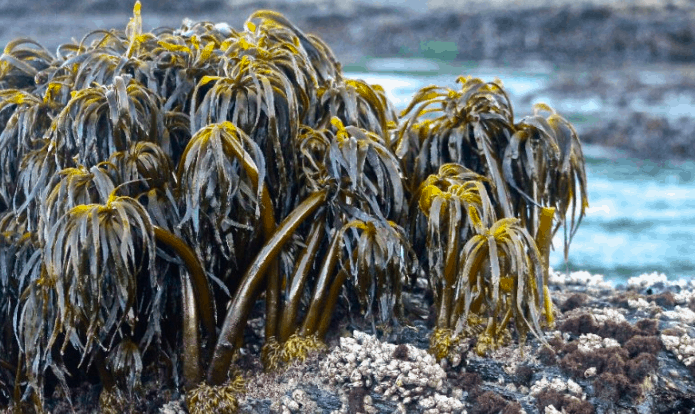 Seaweeds of the west coast