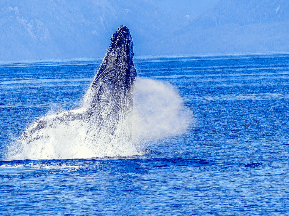Humpback Whale Clayoquot Sound
