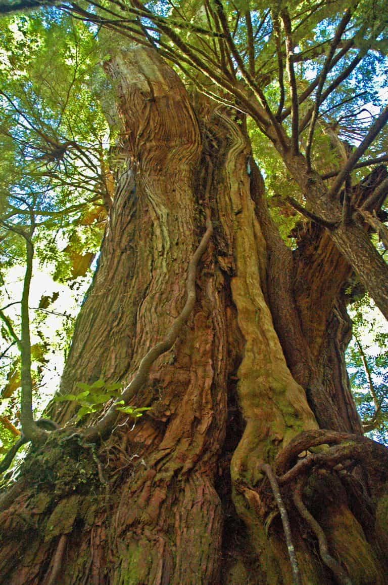 Big Tree Trail Meares Island